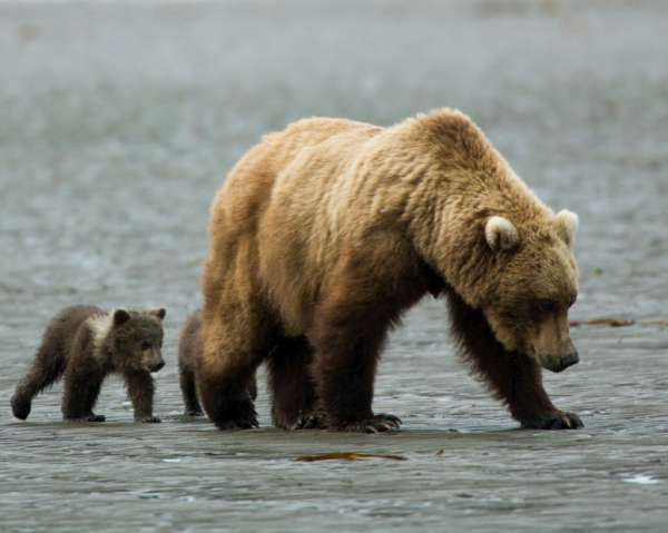 Grizzly Bear and Cub in Yellowstone Park